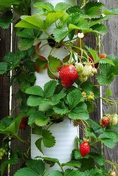 Vertical strawberries in PVC pipe