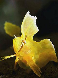 Golden Weedfish Cristiceps aurantiacus