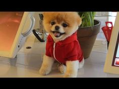 Boo - The World's Cutest Dog - Virgin America - August 2012: Edited this video introducing Boo, the World's Cutest Dog to Virgin America by Video