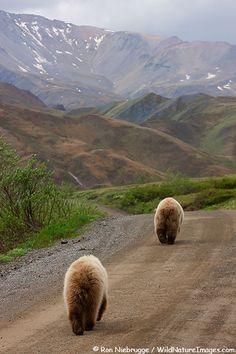 Two Grizzly Bears walk the road through Denali National Park, Alaska