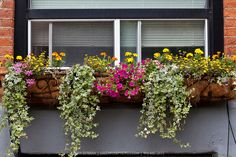 A sunny area window box with tiny edible Lemon Gem Signet marigolds, variegated ornamental ivy,  French marigolds, and pink calibrachoa.