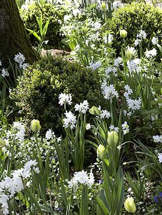 FOR SPRING:   Fragrant paperwhite narcissus paired with 'Spring Green' tulip, for example, is a sure way to bring life to a corner shaded by deciduous trees. A groundcover carpet of vinca adds touches of purple, and boxwood shrubs provide structure.