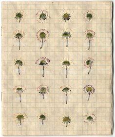 book of pressed daisies