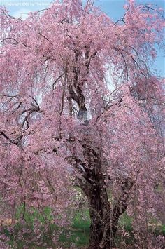 tree, front yards, weep cherri