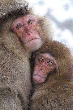 masashi mochida, japanes macqu, anim wild, brother japanes, baby animals, animal babies, younger brother, wild anim, monkey
