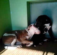 ****URGENT IN ORLANDO, FLORIDA****  We've seen miracles happen before and we are praying for one for these 2 amazing dogs. Photos are worth a thousand words as you can see here!!! This photo is both heartbreaking and heartwarming. These 2 males both got dumped at Orange Couty Animal Services in Orlando, FL (OCAS) 407-836-3111, 2769 Conroy Rd, Orlando https://www.facebook.com/SecondChanceRescueNycDogs/photos/a.268618996580496.54842.268612969914432/598709143571478/?type=1