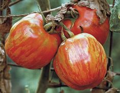Tomatoes for Stuffing. This article will help you make the best choice. Read here http://www.vegetablegardener.com/item/3598/tomatoes-for-stuffing hollow caviti, fruit, bell peppers, cavities, bells, stuf tomato, edibl bowl, garden, bowls