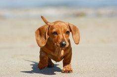Dachshunds are the cutest puppies on the planet.
