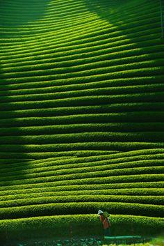 Tea plantation in Ky