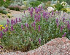 blue flowers, front yard, california nativ, purpl garden, californian plant, sandi soil, nativ garden, random annual, nativ plant