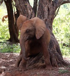 Bottom scratch! Rorogoi takes care of an itch with the help of a conveniently placed tree in Nairobi National Park | ©David Sheldrick Wildlife Trust