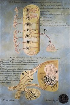 Spinal Cord #neuroscience