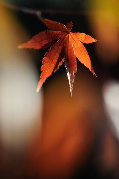 Maple Leaf by naoki nomura