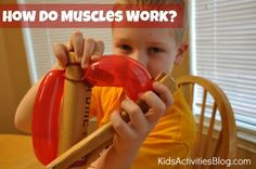 how do muscles work. #homeschool use with Apologia Exploring Creation With Anatomy