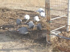 Putting livestock to work!  This Blessed Life at Rootsong Farm: our movable pig pen is a success!
