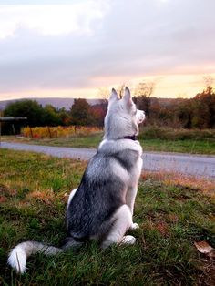 Siberian Husky. I WILL have one of these one day.