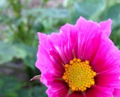 Cosmos blomsterbilled, cosmos