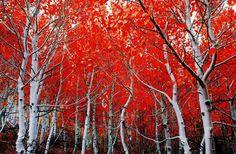 Cali Birches