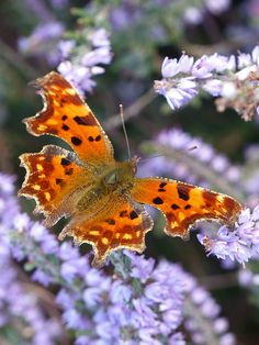 Comma-Butterfly (Polygonia c-album) - Flickr - Photo Sharing!