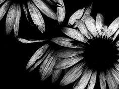 black and white sea, black n white, white flowers, black holes, art, daisi, beauti, flower photos, black and white photography
