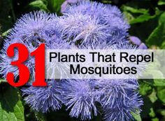 31 plants top