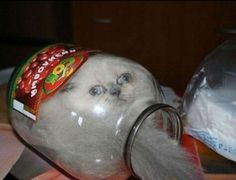 cat humor, I hope the cat crawled into this jar