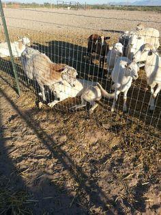 Livestock guardian dog at work guardian dog