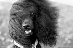 Look at my hair! :D Little Friends Photo, Seth Casteel #poodle #dog #photography