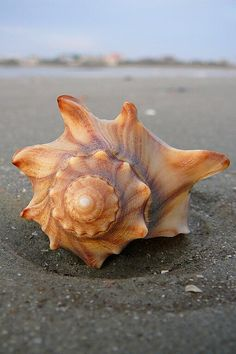 seashell from the ocean deposited on the beach.
