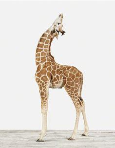 baby giraffe print by Sharon Montrose. Want!