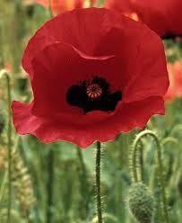 memorial day red poppy