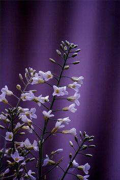 White Brassica