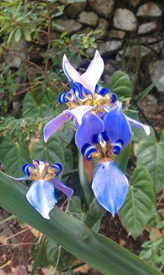 More blue flowers from at Ahhh...Ras Natango Gallery and Garden in the community of Camrose St James.at  Montego Bay Jamaica