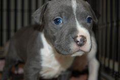 grey pitbull puppies, anim, grey pitbull puppy, pit bulls, puppi 333