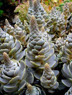 famili, garden, fractal succul, cactus