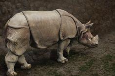 Rhinoceros by Dave Larsen