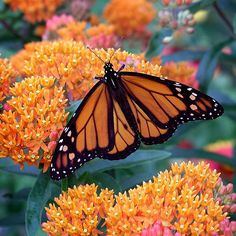 Get to Know Your Favorite Butterflies, Monarch