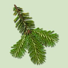 The silvery branches of the Fraser Fir turn slightly upward, giving it a full, compact appearance. Its fresh, mild fragrance is subtler than the balsam's. Thick branches will hold most decorations; it's easy to reach interior branches, so cords are less visible. | Photo: ©Bruce Coleman Inc./Alamy | thisoldhouse.com