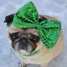 Our Pug Bailey Puggins wishing everyone a Happy St. Paddy's Day!