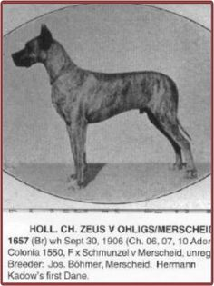 CH Zeus v Ohligs (aka Ch Zeus v Mercheid), brindle, born 1906. This was Hermann Kadow's first Dane of note. One of the breed's most influential sires and was used often by other breeders. This dog won many prizes and was a very important progenitor of the breed. He was obviously very recognized as worthy since his head is the emblem of the West German Dane Club. Progeny include CH Ciska-Moguntia, CH Primas vd Rheinschanze, Freya-Rhenania, CH Bosko vd Saalburg, Ch Dolf vd Saalburg, and many more