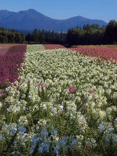 Field of flowers, Biei, Hokkaido, Japan