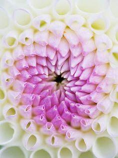 Rhs garden wisley surrey close up of the flower of dahlia josie