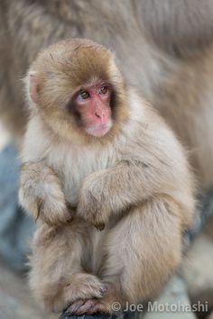 A baby snow monkey