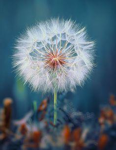 Christos Lamprianidis - dandelion seed head