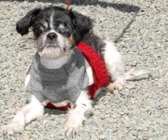 Costa is an adoptable Shih Tzu Dog in Lambertville, NJ. COSTA has had a rough life and it was our founder Annie Trinkle that gave him a second chance. She nursed him back to health after he was found ...