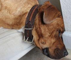 old belt turned dog collar