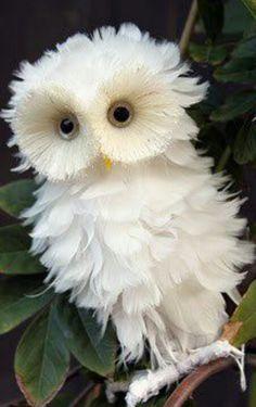 Snowy White Baby Owl