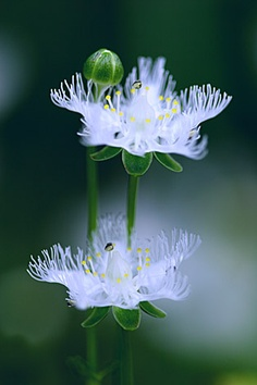 Parnassia foliosa var. nummularia (Japanese common name shira-hige-sou meaning white beard weed), by  kaz@blooming, via flickr