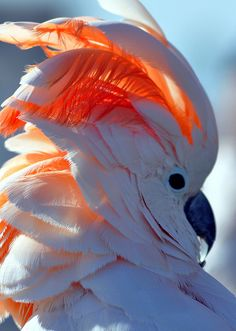 Salmon-crested #cockatoo