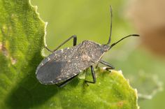 BAD BUG: The Squash Bug. Squash bugs attack squash, pumpkin and cucumber plants by sucking the sap out of leaves, creating holes in the leaves. SOLUTION: You can crush their eggs, knock adults into a bucket of soapy water, trap with newspaper that they'll congregate under at night, or spray an insecticide.